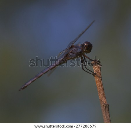 Purple and blue dragonfly on a stock with blue and green behind - stock photo