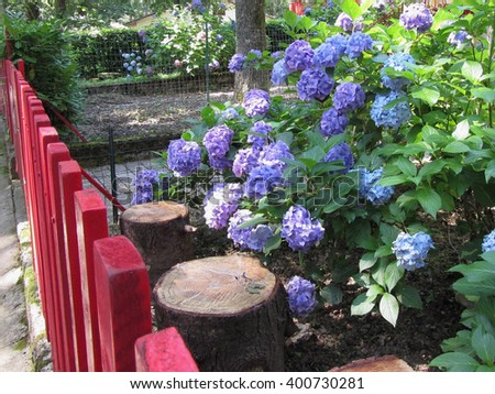 Purple and blue Hydrangea flowers (Hydrangea macrophylla) in a garden in summertime