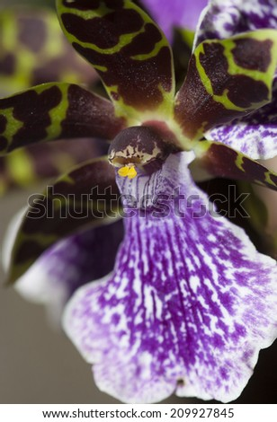 purple and green orchid close-up - stock photo