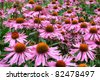Purple and orange perennial cone flowers Echinacea Purpurea Maxima  in a garden. - stock photo