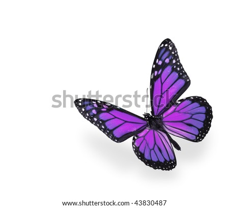 Purple and Pink Butterfly on White Background - stock photo