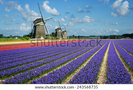 Purple and pink hyacinth flowers in front of three windmills in the Bulb Region in Holland. Spring in the Netherlands.