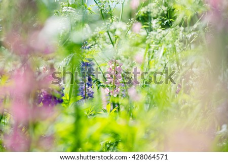 Purple and pink lupin and queen anne's lace flowers  in a beautiful meadow - stock photo