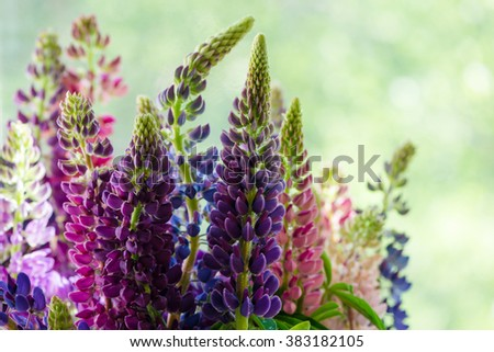 Purple and pink lupin bunch - stock photo