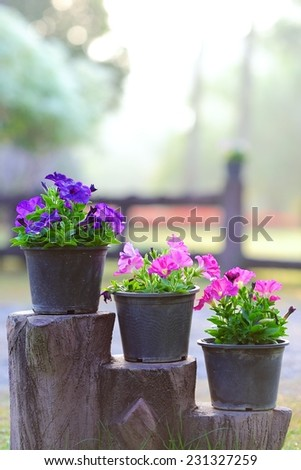 Purple and pink petunia flowers in plastic pots put on steps - stock photo