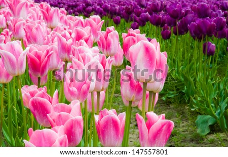 Purple and pink tulips in Skagit Valley - stock photo