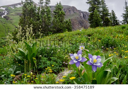 Purple and white columbine bloom in a field of wildflowers in the Ice Lake Basin near Silverton Colorado - stock photo