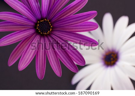Purple and White Daisy