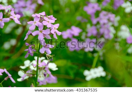 Purple and white Dame's Rocket wild flowers