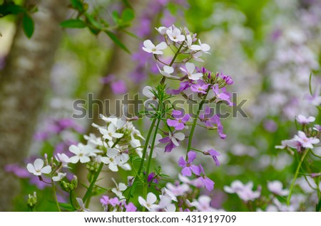 Purple and white Dame's Rocket wildflowers