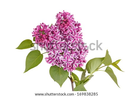 Purple and white flowers of lilac cultivar Sensation (Syringa vulgaris) with green spring leaves isolated against a white background