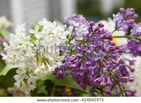 Purple and white lilac flowers. Different kind of lilac flowers.