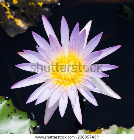 Purple and white lotus in garden