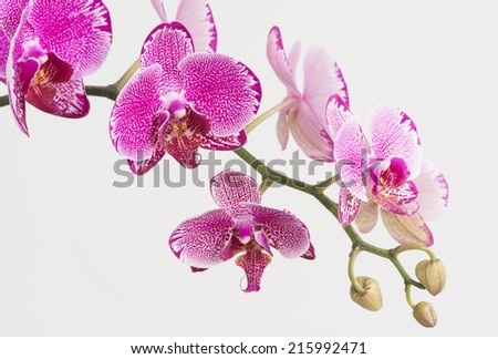 Purple and White Moth Orchids  - stock photo