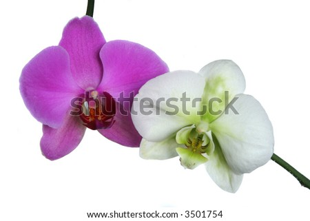 Purple and white orchid isolated on the white