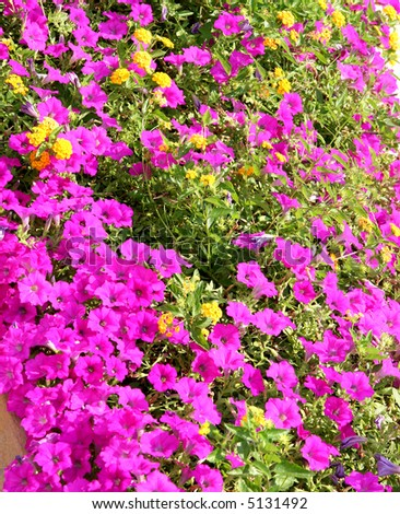 Purple And Yellow Flowers In A Residential Flower Garden