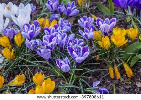 Purple and yellow irises. - stock photo