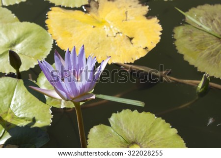 Purple and yellow water lilie on a background of water and the yellow and green leaves - stock photo