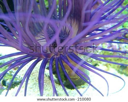 Purple Anemone - stock photo