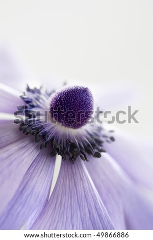 purple anemone flower - stock photo