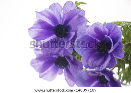 purple anemone on white