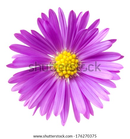 Purple aster. Deep focus. No dust. No pollen.  - stock photo