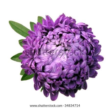 Asters Flowers Purple Purple Aster Flower Isolated