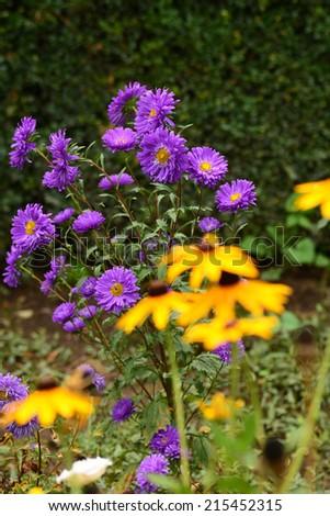 Purple Asters and defocused Rudbeckia hirta - stock photo