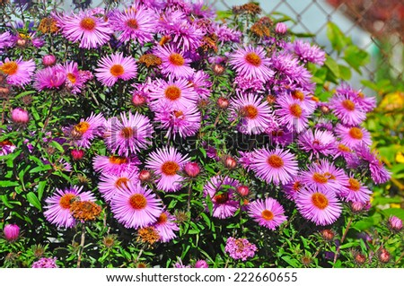 purple autumn flowers. Wild pale purple Michaelmas Daisies (Aster sp.) in flower in early Autumn.  - stock photo