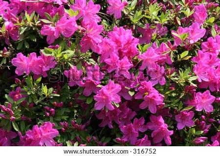 Purple Azaleas, taken outside of Tokyo, Japan. - stock photo