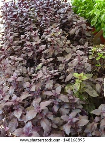 Purple basil in basil market - stock photo