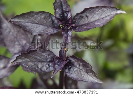 purple basil leaves in the garden