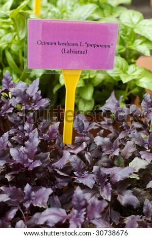 Purple basil leaves with tag and Latin scientific name - Ocimum basilicum L. purpureum - stock photo
