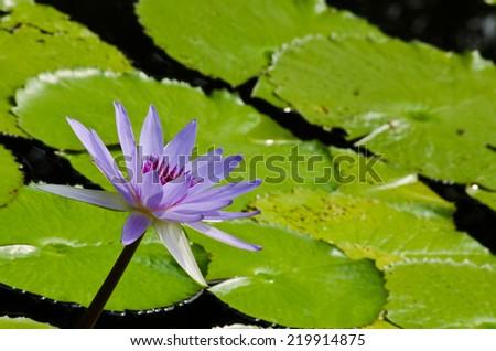 purple beautiful lotus - stock photo