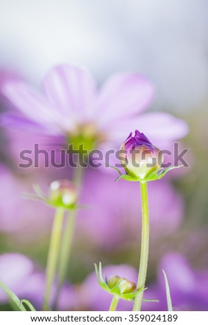 Purple beauty cosmos flowers in the garden. Beautiful natural floral use as background. Shallow depth of field (dof), flower bud in  focus. Vertical image, close up with blurred nature background. - stock photo