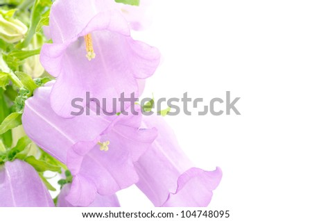Purple bell flowers in left side on white background