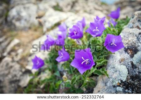 Purple bell flowers on rock stock photo safe to use 252332764 purple bell flowers on rock mightylinksfo