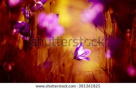 purple bellflower - stock photo