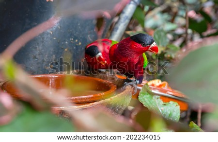 Purple bellied Lory, Lorius hypoinochrous, with their black crown. - stock photo