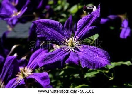 Purple Bloom - stock photo