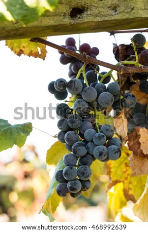 purple blue Concord grapes on a vine in a wine vineyard