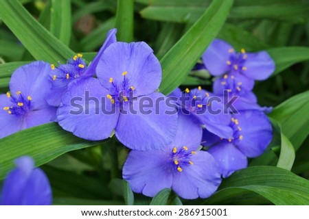 Purple blue spiderwort tradescantia flowers (trillium) - stock photo