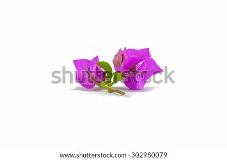 Purple Bougaville flower isolated on white background - stock photo