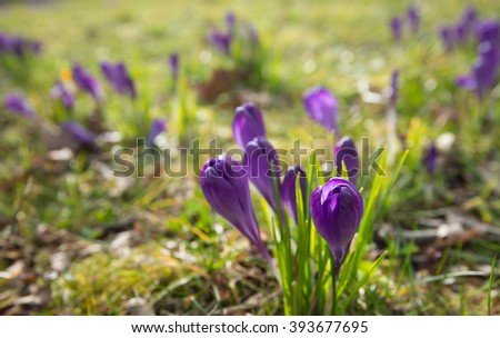 Purple budding crocuses in the foreground against some blurred congeners in the background. - stock photo