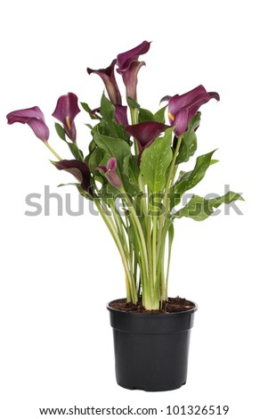 Purple Calla Lilly Plant in pot - stock photo