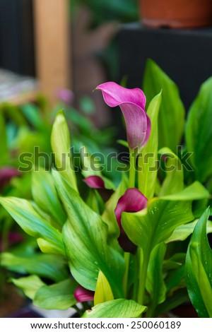 purple calla lily flower in the garden