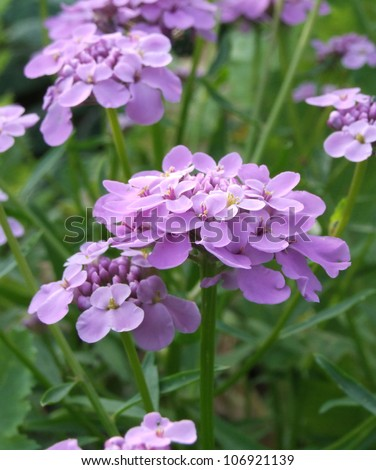 Purple Candytuft Flowers (I. umbellata) - stock photo