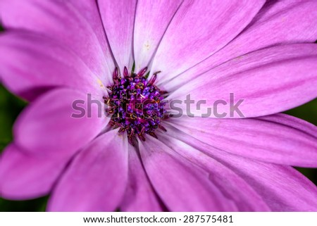 Purple Cape marguerite (Osteospermum ecklonis, Syn. Dimorphotheca ecklonis DC., Bornholmmargerite) macro of the center of the blossom