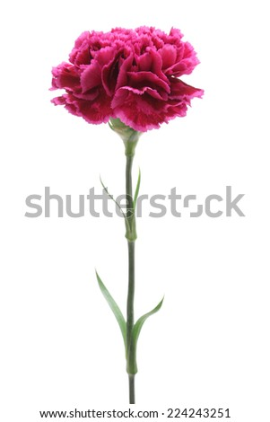 Purple carnation isolated on white background  - stock photo