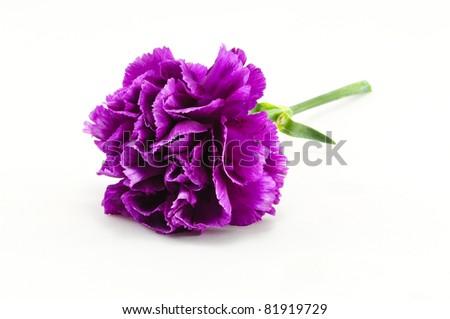 Purple Carnation Isolated on white background - stock photo